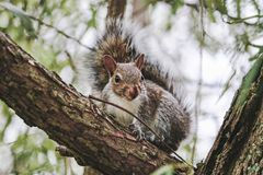 Eastern Grey Squirrel portrait in late summer royalty free stock image