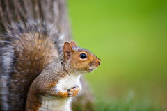 Eastern Grey Squirrel Royalty Free Stock Photography