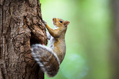 Eastern Grey Squirrel Royalty Free Stock Image