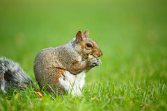 Eastern Grey Squirrel Stock Photo