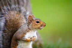 Eastern Grey Squirrel Royalty Free Stock Photo