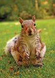 Eastern Grey Squirrel (Sciurus carolinensis). Alert Eastern Grey Squirrel (Sciurus carolinensis) staring at the camera Royalty Free Stock Image