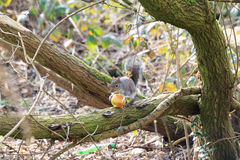 Eastern Grey Squirrel or Sciurus carolinensis eating an apple in a tree Royalty Free Stock Photography