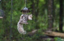 Eastern Gray Squirrel raiding bird seed feeder, Athens Georgia, USA. Eastern Grey Squirrel, Sciurus carolinensis, hangs from a bird feeder eating black oil Royalty Free Stock Image