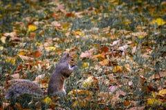 Eastern Grey Squirrel Sciurus carolinensis nibbling on a nut royalty free stock photo