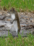 Eastern Grey Squirrel Standing Upright on Two Legs. Eastern Grey Squirrel standing upright in grass Royalty Free Stock Photography