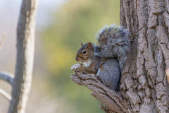 Eastern Grey Squirrel Stock Photos