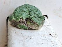 Eastern Grey tree frog resting Stock Image