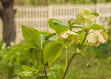 Eastern hellebore in the garden royalty free stock image
