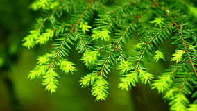 Eastern Hemlock (Tsuga canadensis) stock video footage
