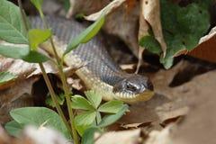 Eastern Hog-nosed Snake Stock Images