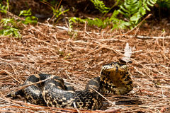 Eastern Hognose Snake Stock Image