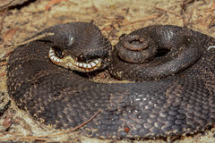 Eastern Hognose Snake. An Eastern Hognose Snake defensively coiled on the ground royalty free stock photos