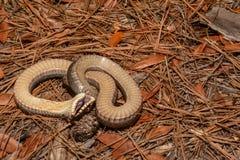 Eastern Hognose Snake Stock Image