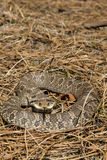 Eastern Hognose Snake (Heterodon platirhinos). Eastern Hognose Snake flattened out throwing a hood in a threatening display royalty free stock photography