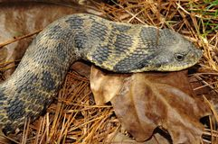 Eastern Hognose Snake Heterodon platirhinos In The Wilton Park. Eastern Hognose Snake Heterodon platirhinos, Wilton Park And Preserve, Saratoga County, NY stock photography