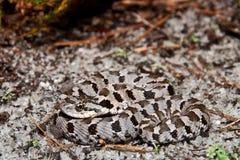 Eastern Hognose Snake. An Eastern Hognose Snake hiding on the ground stock photos