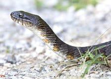 Eastern Hognose Snake. Eastern Hognose moving across gravel stock photos