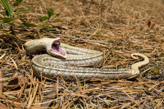 Eastern Hognose Snake Stock Photo