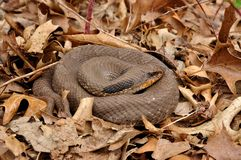 Eastern Hognosed Snake Royalty Free Stock Photos