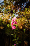 Eastern Hollyhock Stock Images