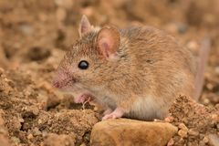 Eastern House Mouse - Mus musculus Stock Image