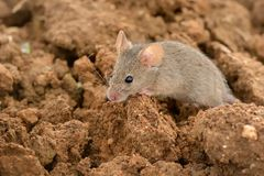 Eastern House Mouse - Mus musculus Stock Photography