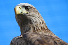 Eastern Imperial Eagle Stock Photography