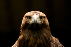 Eastern Imperial Eagle. Frontal closeup Stock Image