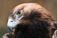 Eastern imperial eagle. With tilted head close-up Royalty Free Stock Image
