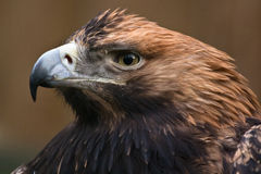 Eastern imperial eagle. Close-up Royalty Free Stock Images