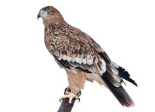 Eastern Imperial Eagle Royalty Free Stock Photos