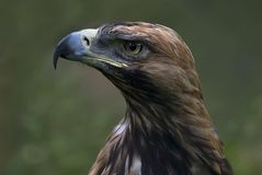 Eastern imperial eagle (Aquila heliaca) Royalty Free Stock Image
