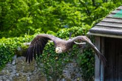 The eastern imperial eagle, Aquila heliaca is a large bird of prey royalty free stock photography