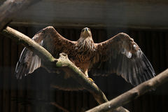 Eastern imperial eagle (Aquila heliaca). Royalty Free Stock Images