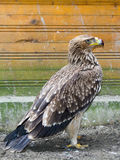 Eastern imperial eagle (Aquila heliaca) Stock Images