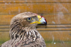 Eastern imperial eagle (Aquila heliaca) Royalty Free Stock Images