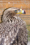 Eastern imperial eagle (Aquila heliaca) Stock Photo