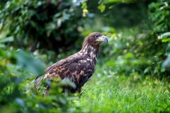 Eastern imperial eagle. In summer day royalty free stock photos
