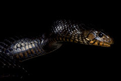 Eastern indigo snake (Drymarchon couperi) Royalty Free Stock Photo