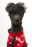 Eastern Inspired Dog Royalty Free Stock Images