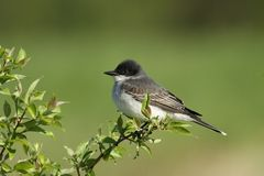 Eastern King Bird Royalty Free Stock Images