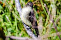 Eastern king bird resting on a tree limb Stock Image