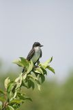 Eastern Kingbird. An eastern kingbird perched on a leafy branch at Warroad Park Point in Minnesota Stock Images