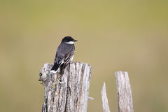 Eastern Kingbird. Against a blurred background Stock Images