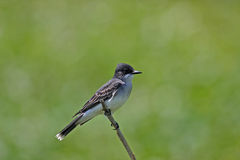 Eastern Kingbird Royalty Free Stock Image