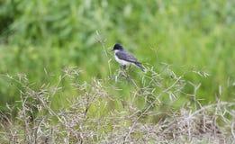 Eastern Kingbird bird perched on tree over pond, Walton County Georgia USA royalty free stock image