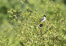 Eastern Kingbird on branch Royalty Free Stock Photos