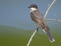 Eastern Kingbird on Branch Royalty Free Stock Photo