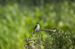 Eastern Kingbird and bugs Royalty Free Stock Image